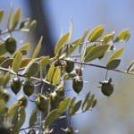 Jojoba-Olie: de olie tegen vet haar